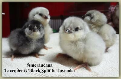 ~ Pure Ameraucana Fresh & Fertile Hatching Eggs ~ Colors Galore ~ 8 + Eggs