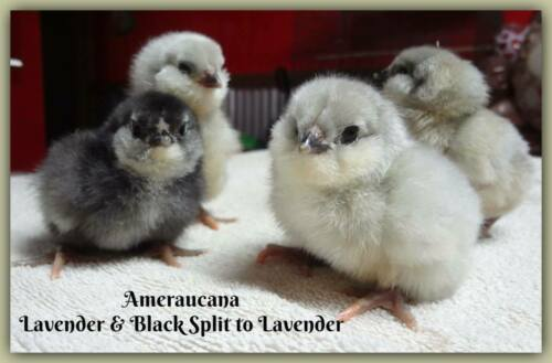 ~ Pure Ameraucana Fresh & Fertile Hatching Eggs ~ Colors Galore ~ 6 + Eggs
