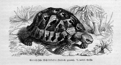 Griechische Schildkröte Maurische Landschildkröte Testudo graeca Stich von 1892