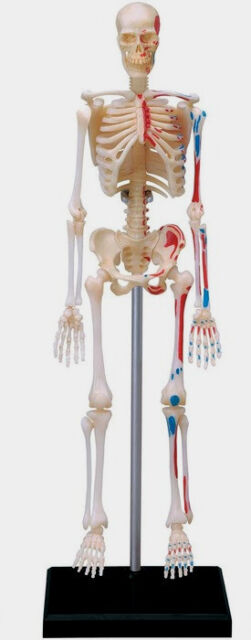 4d vision visible human skeleton anatomy kit fdv26059 | ebay, Skeleton
