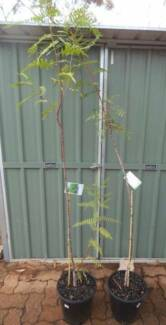 Pepper Tree Potted