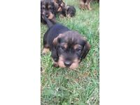 Adorable wire haired dachshund puppy #REDUCED PRICE#