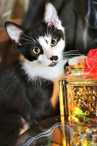 """Baby Male Cat - Domestic Short Hair: """"Scout"""" Strathcona County Edmonton Area image 2"""