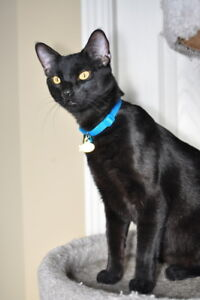 """Adult Male Cat - Domestic Short Hair: """"Cole Lakeside"""""""