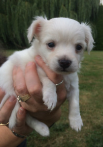 CUTE, CUDDLY, PLAYFUL CHIHUAHUA PUPPIES FOR SALE!!!
