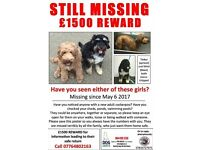 Missing dogs in Surrey