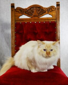 Red Point Birman needs a new home Hillcrest Logan Area Preview