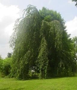Cutleaf Weeping Birch 10 foot tall.  Fast growing elegance for any yard.  Reserve today.