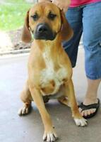"Young Female Dog - Coonhound-Bloodhound: ""Hattie FOSTER NEEDED"""