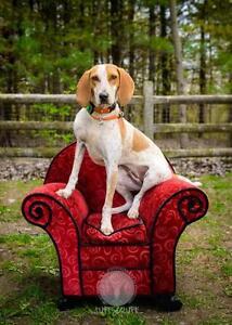 "Young Female Dog - English Coonhound: ""Heidi"""