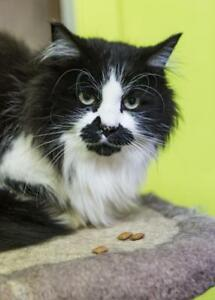 """Adult Female Cat - Domestic Long Hair: """"Maddie"""""""