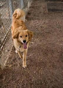 "Young Male Dog - Golden Retriever: ""Jasper"""