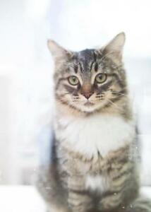 """Young Female Cat - Domestic Medium Hair - gray and white: """"Lily"""""""