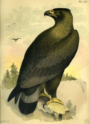 BIRD~GOLDEN EAGLE~1881 antique art print~59