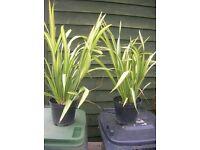 2-3ft PHORMIUM New Zealand Flax Plant, Yellow Wave