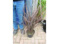 Large 3ft Phormium Plant AMAZING RED