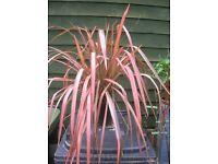 Large Pink Flamingo Phormium Plant