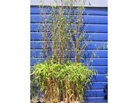 7-8ft bamboo plants. 2litre potted. Yellow, red or green.