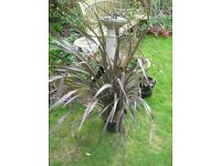 Large 3ft Platts BLACK PHORMIUM New Zealand Flax 7.5litre potted