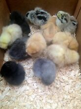 Baby chickens for sale Stawell Northern Grampians Preview