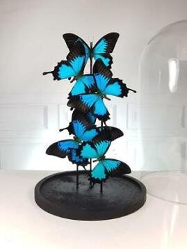 Fine Blue Emperor Butterflies under large glass dome - Papil