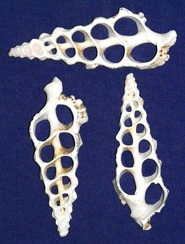 "Sliced,Center Cut,Spiral~Cerithium Nodolosum 3""-4""- Craft Shells~12 Pcs."