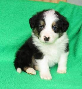 BORDER COLLIE PUPS from Registered breeder Est 1969 Hay Hay Area Preview