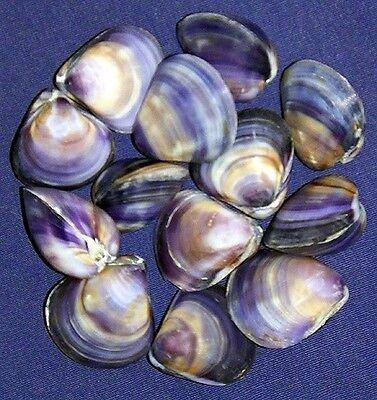 Polished Purple/Violet Clam Pr.,Cockle, Scallop,Pecten Shells~1