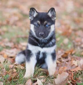 Looking for German Sheppard/ Husky mix- puppy