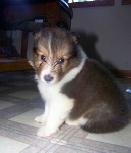 Canadian kennel club registered Sheltie puppies for sale