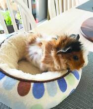7 weeks old Abyssinian Guinea pig Mosman Mosman Area Preview