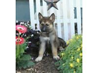 Shepsky puppy