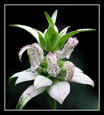 beebalm, spotted, 320 seeds, RARE PERENNIAL! white ...
