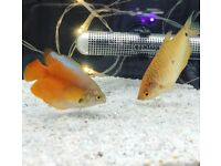 Tropical fish Dwarf Gourami BIG SIZE Home delivery