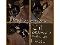 Chihuahua puppy girl