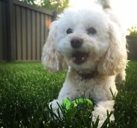 Our poodle Maltese went missing last night .