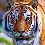 tiger_john