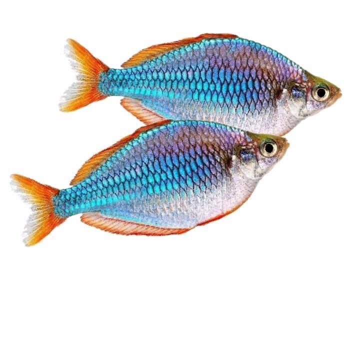 Dwarf Neon Rainbow Fish. Melanotaenia praecox. Live Tropical Aquarium Fish