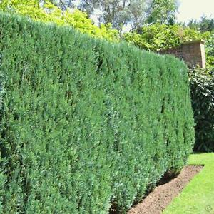 50 Lawson cypress hedging conifers 3-4 ft not leylandii trees