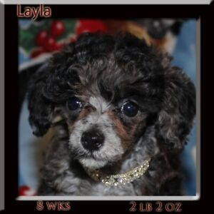 Ckc registered toy poodle puppies
