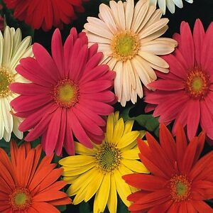 Gerbera jamesonii Hybrids Mix - 100 seeds - Flowers - perennials
