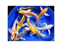 Quality BUTTERFLY koi carp cold water pond fish- new stock just arrived!