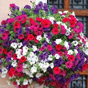 Petunia Super Cascade Mixed  24 plug plants for hanging baskets