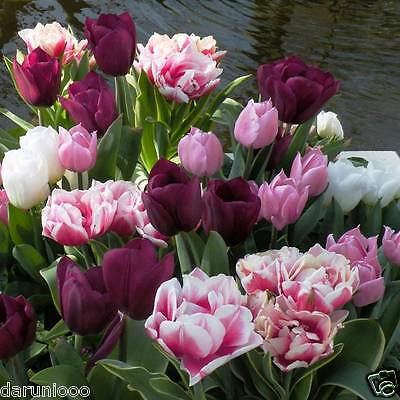 10 TULIPS DOUBLE FLOWERING GARDENING BULB BEAUTIFUL SPRING FLOWER PERENNIAL NEW