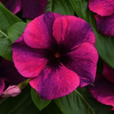 (Vinca Tattoo Black Cherry 25 Vinca Seeds New for 2019)
