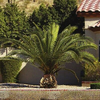 Pair of Palm Tree 80-100cm Winter Hardy Phoenix Palms Tropical Beauties 15cm Pot