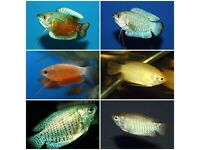 3x Gourami's for sale tropical fish