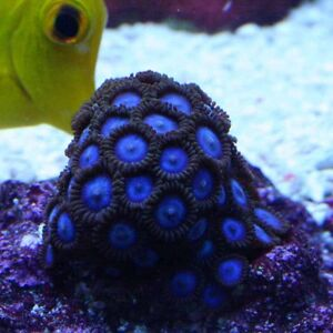 Lots of corals and Frags Sarnia Sarnia Area image 5
