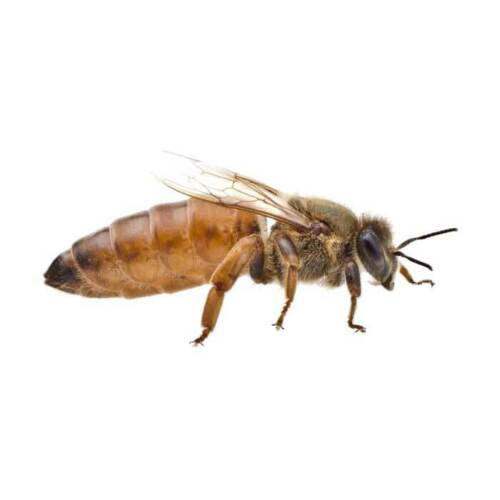 LIVE UNMARKED ITALIAN MATED QUEEN BEE (PRE-ORDER MID-MARCH 2020)