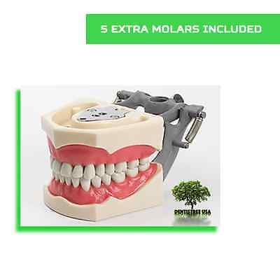 Dental Typodont Model 860 Works With Columbia Brand Teeth 5 Free Molars